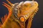 Sunny Iguana