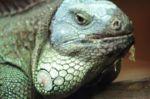 Water Iguana