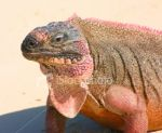 Pinky Iguana