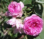 Dear pink roses
