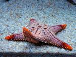 starfish calisthenic