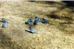 Splendid Bluebirds
