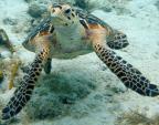 Territorial turtle