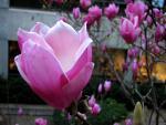 Magnolia Shine