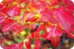 Autumn darkred