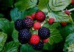 Wonderful Berries