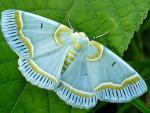 Sky Moth