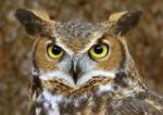 Bedlam's Owls