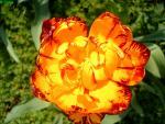 Virág_7