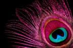 The Peacock Feather♥