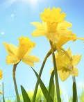 Daffodils in a Field
