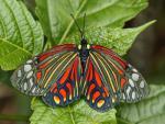 Harlequin Moth