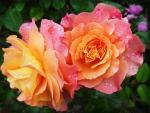 Sunrise Hue Roses