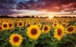 Rise of Sunflowers