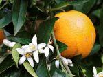 Orange Tree In Bloom