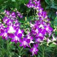 Orchidia 1