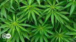 Cannabis1962
