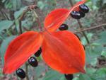 Black Chokeberry