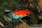 The Red Head Frog