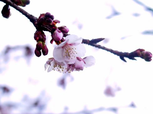 Prunus kanzakura