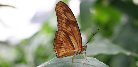 Kahverengi Kelebekler