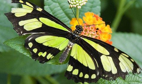 Mutlu Kelebekler