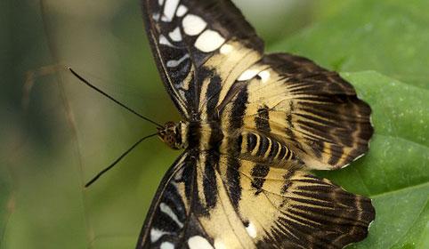 Le papillon léopard
