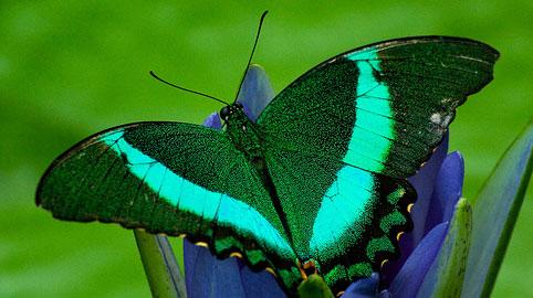 Bir Zambakta Kelebekler