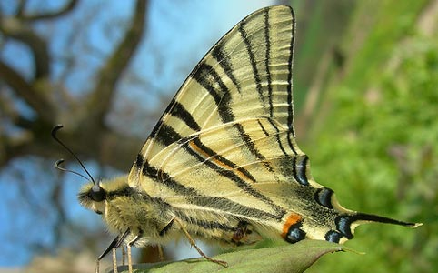 Kıt Fallowtail