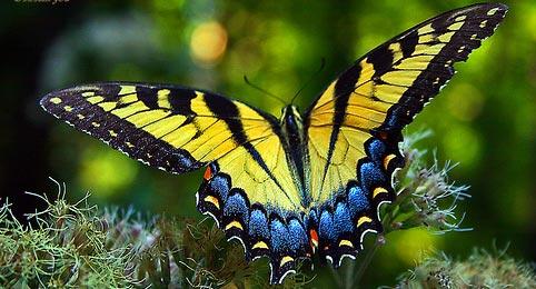 Serçe kuyruk kelebeği