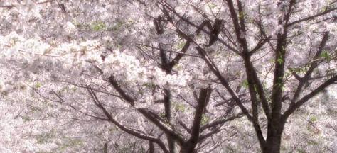 Hanami - Flower Viewing