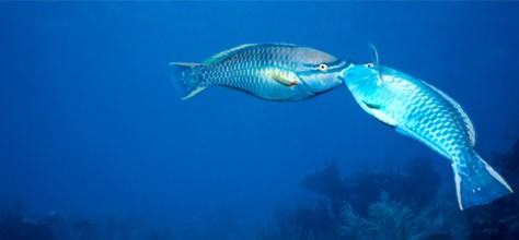 Color in Nature: Parrotfish, Colourful and Helpful