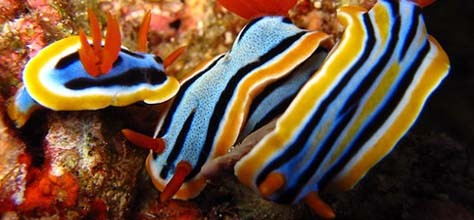 Nudibranchs, The Most Colorful Creatures in the World