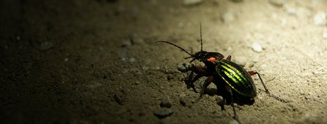 Color In Nature: Beetles